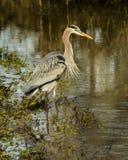 Wielkiego błękita czapla w zatoczce przy Sacramento obywatela rezerwatem dzikiej przyrody Zdjęcia Stock