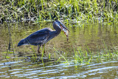 Wielkiego błękita czapli łykania ryba Obrazy Royalty Free