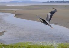 Wielkiego błękita czapli latająca depresja nad ujściem zdjęcie stock
