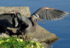 Wielkiego błękita czapli odprowadzenie Obok Błękitnego jeziora Obraz Royalty Free