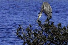 Wielkiego błękita czapli ostrość zdjęcia stock