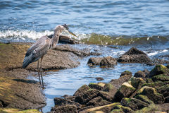 Wielkiego błękita czapli połów na Chesapeake zatoce Zdjęcie Stock