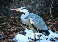 Wielkiego błękita czapli pozycja na śniegu w lesie zdjęcia royalty free