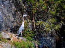 Wielkiego błękita czapli pozycja na skale, Ardea herodias Obraz Royalty Free