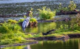 Wielkiego błękita czapli pozycja na wyspie w Chesapeake zatoce Zdjęcie Stock