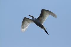 Wielkiego błękita czapli ptak Fotografia Royalty Free