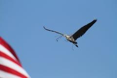 Wielkiego błękita czapli ptak Zdjęcia Stock