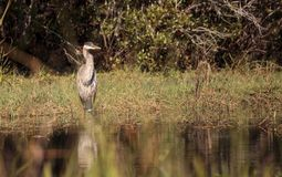Wielkiego błękita czapli ptak, Ardea herodias w dzikim, obraz stock
