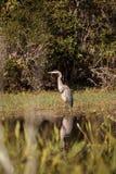Wielkiego błękita czapli ptak, Ardea herodias w dzikim, fotografia stock