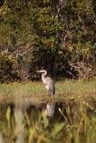 Wielkiego błękita czapli ptak, Ardea herodias w dzikim, obrazy royalty free