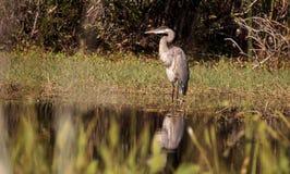 Wielkiego błękita czapli ptak, Ardea herodias w dzikim, zdjęcie stock