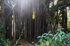 Wielkiego Banyan â€' drzewo z światowym ` s wielki teren korona Obraz Royalty Free