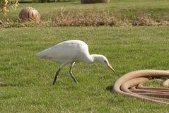 Wielkiego bielu czapla zdjęcie stock
