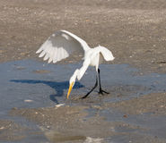 Wielkiego bielu czapla łapie ryba na brzeg Wyspy Cayo Costa Obrazy Stock
