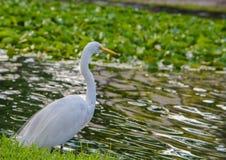 Wielkiego bielu czapli ardea herodias occidentalisIn park przy Largo central park w Largo, Floryda Zdjęcie Royalty Free
