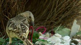 Wielkiego bowerbird budowy kolekcja przeważni spowodowany przez człowieka przedmioty i nadzieja imponuje odwiedza kobiety w Towns zdjęcie stock