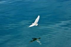 Wielkiego egret latająca depresja nad jeziorna powierzchnia obrazy stock