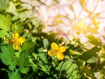 Wielkiego glistnika koloru żółtego kwiaty fotografia royalty free