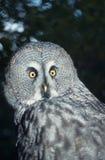 wielkiego grey sowa Fotografia Royalty Free