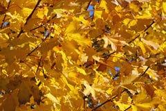Wielkiego koloru żółtego lub pomarańczowego drzewa liście Zdjęcie Stock