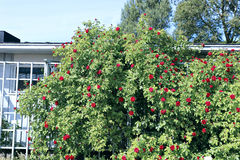 Wielkiego krzaka wspinaczkowe róże na trellis Obrazy Royalty Free