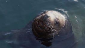 Wielkiego męskiego dzikiego zwierzęcia Północny Denny lew pływa w oceanie spokojnym zbiory wideo