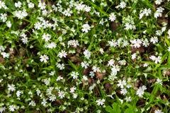 Wielkiego stitchwort kwiaty Zdjęcie Stock