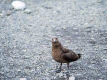 Wielkiego wydrzyka Stercorarius wydrzyk, Iceland Obraz Stock