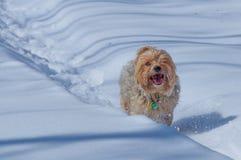 Wielkiego yorshire teriera trakenu czysty biegać/bawić się szczęśliwie przez ścieżki w śniegu podczas zimy obraz stock