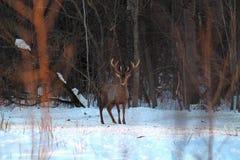 Wielkiej, dorosłej samiec Europejski szlachetny rogacz z wielkimi rogami w wiośnie w lasowej haliźnie, obserwuje otaczającego śro Zdjęcie Stock
