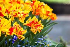 Wielo- barwioni kwitnący tulipany w wiośnie Obrazy Stock