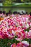 Wielo- barwioni tulipany, wiosna Fotografia Royalty Free