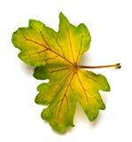 Wielo- barwiony jesień liść dąb Obraz Stock