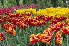 Wielo- coloured rzędy tulipany na przedstawieniu w ogródzie zdjęcia stock