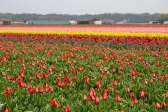 Wielo- coloured tulipany r w kwiatu polu blisko Lisse, holandie zdjęcie royalty free
