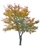 Wielo- kolor jesieni drzewo odizolowywający na bielu Zdjęcie Royalty Free