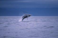 wieloryb Fotografia Stock
