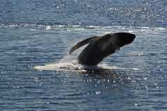 Wieloryb, Alaska Obraz Stock
