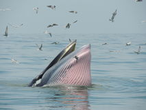 Wieloryb Bangtaboon Obrazy Stock