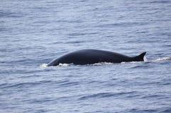 wieloryb fin Zdjęcia Royalty Free