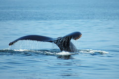 wieloryb humpback Fotografia Royalty Free