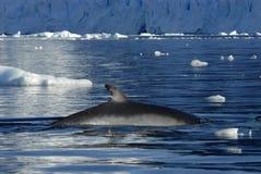 wieloryb minke Zdjęcie Royalty Free
