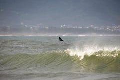 Wieloryb na Brazylijskim wybrzeżu Obraz Royalty Free