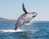 Wieloryb narusza 3 zdjęcie royalty free