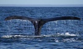 wieloryb odlotowe Zdjęcie Stock
