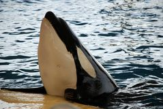 wieloryb orka Zdjęcia Stock