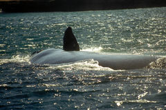 wieloryb południowej Zdjęcia Stock
