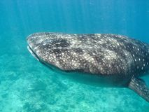 wieloryb rekina Obrazy Royalty Free