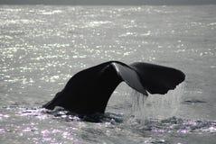 wieloryb spermy Obrazy Royalty Free