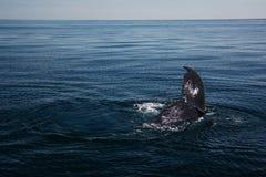 Wieloryb w morzu Fotografia Stock